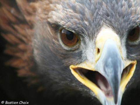 1-aigle-royal-300-dpi