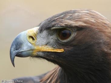 aigle-royal