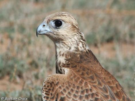 faucon-sacre